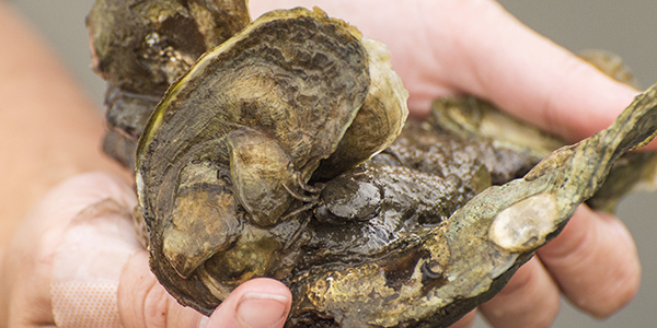 hands holding a cluster of oysters