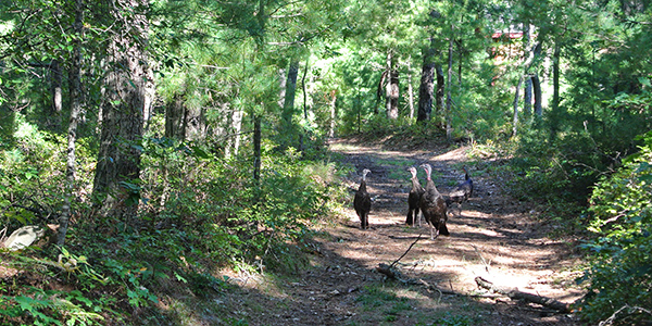 turkeys on moraine trail in Falmouth