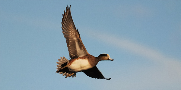 American widgeon flying through the air