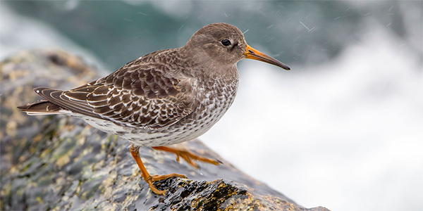 purple sandpiper on a rock by the shore