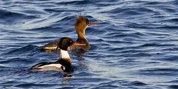 two red-breasted mergansers on the water