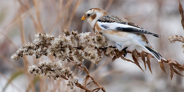 snow bunting on a branch with seeds