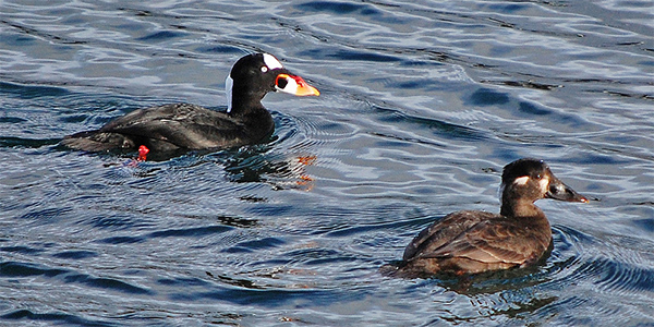 surf scoter pair on the water