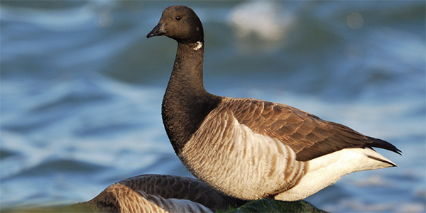 a brant goose standing on a rock by the water