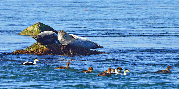 some common eiders on the water next to two harbor seals