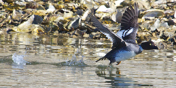 a common goldeneye takes off over the water