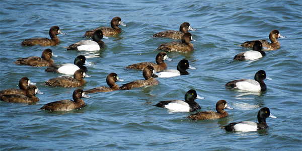 male and female greater scaup floating on the water