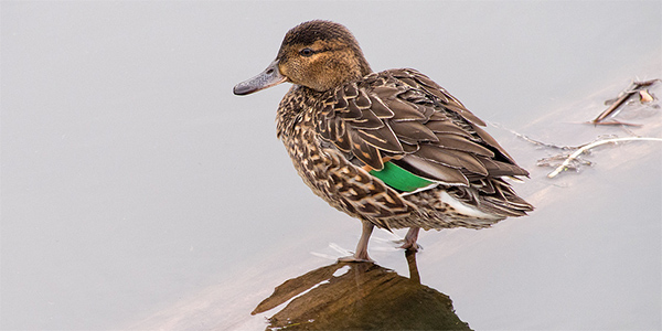 female green-winged teal standing on the water