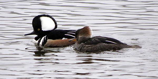 hooded merganser pair on the water