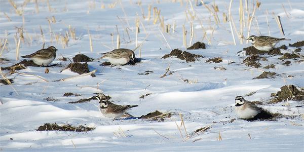 horned larks in a snowy field