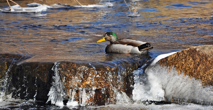 a duck on the icy Acushnet River at The Sawmill